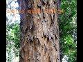 ওর্জুনের অজানা ঔষধি গুন।(BENEFIT OF ARJUN TREE )