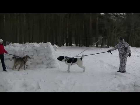 Wolf Vs Alabai