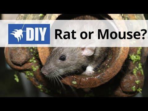 Rat Or Mouse? Learn The Difference Between Rats And Mice