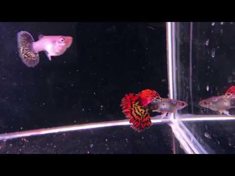 amazing-exotic-dragon-mosaic-guppy---micro-aquatic-shop-|-sydney