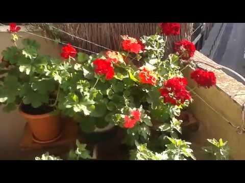 Вопрос: Как использовать голубиный помёт для подкормки комнатных растений?