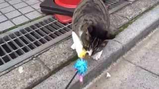 ある住宅街に住む白サバ母子の子猫・元ミニ1号。成長して少年猫となった...