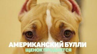 Американский Булли купить щенка. Щенок продается. Девочка 3 месяца