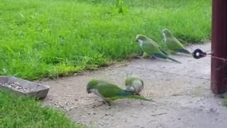 Papugi -  loty na wolności, wolne loty.