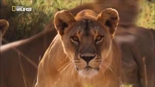 Животные мира Львы Танзании Шум тьмы Самые опасные Следы людоедов Жертвы львов Дурная слава