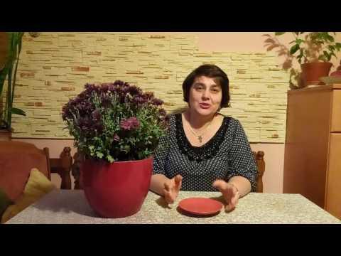 Хотите Сохранить хризантему зимой?