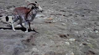 Просто Суппер охотничий собака и Марко Поло в Мургабе