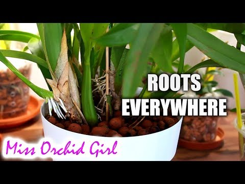 Curious things Orchids do #2 Beginner's Edition - Climbers, descender, root behavior