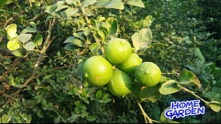न ब क श ख ओ क स खन स क स बच य    lemon plant care tips    lime diseases and their control