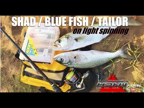 ASFN Fishing Vlog  -  Shad / Blue Fish /Tailor On Light Spinning