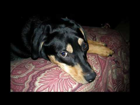 Black and tan colored dog breeds【18】①