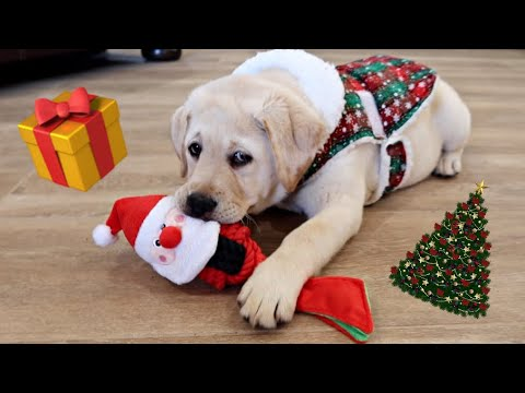 CHUNKY LABRADOR PUPPY OPENS HER FIRST PRESENTS!