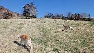 広い草原の中 今日はせらさん(サルーキ)の行きたい方に進みます。