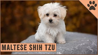 Maltese Shih Tzu Mix  Mix Breed Information