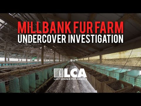Millbank Fur Farm Investigation