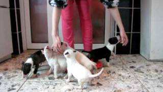 Bull Terrier Puppies 2 - Four Horsemen Kennel