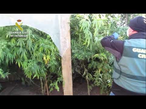Vídeo | Catorce detenidos por tráfico de marihuana en la provincia