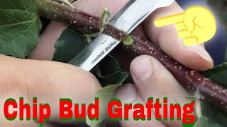 Repeat youtube video Altoirea in chip prelungit, toamna / Grafting apple in chip, autumn