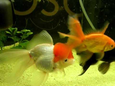 Riproduzione pesci rossi hq con uova youtube for Riproduzione pesci rossi in laghetto