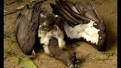 Vanishing Vultures
