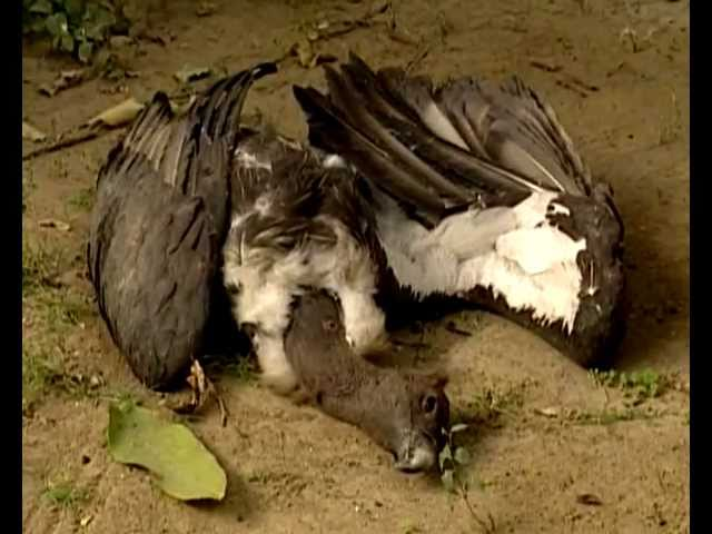 Vanishing Vultures - From Millions to near extinct