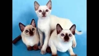 Сиамские кошки