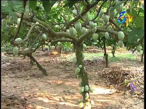 ETV Annadata - Cocoa Planting Technique