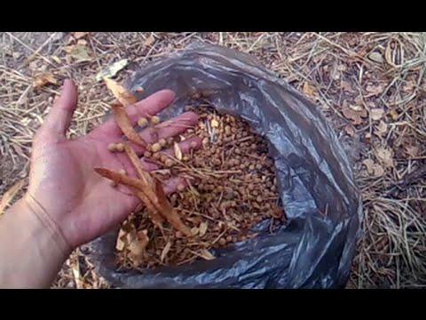 Съедобные растения.  Липовые орехи / Eatable plants. Tilia fruit (nuts)
