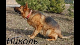 Meeting after a long separation The German Shepherd has not seen its owner for two months,