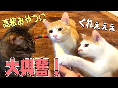 高級な猫用おやつに大興奮+奪い合う猫たち!!【もぐもぐタイム】