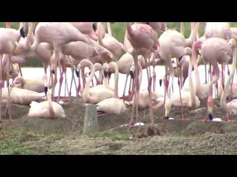 Baby flamingos missing from Hialeah Park