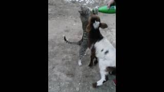 Кошка отбирает у козы молоко