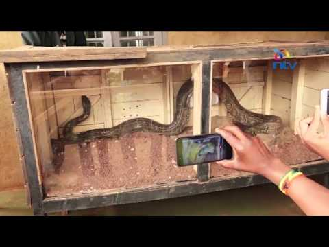 Panic after python sneaks out of Meru national  museum