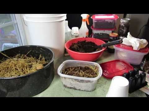 An Experiment: Growing Mushrooms - Substrate/Growing Medium, Mycelium & Grain Spores 2 of 6 TRG 2015