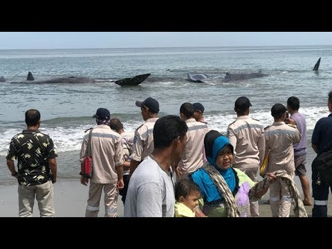Swarms of Whales Stranded at the End of Aceh Besar Beach