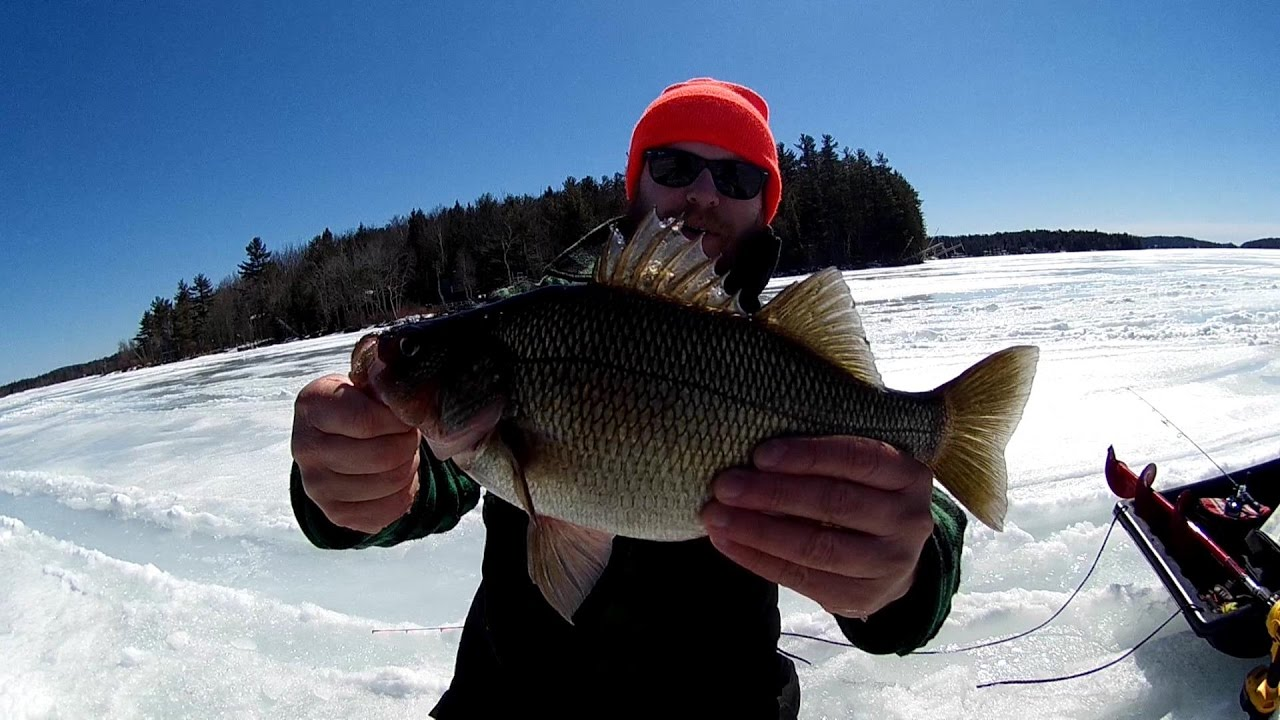 Monster nh white perch winnipesaukee lake trout ice for Ice fishing nh