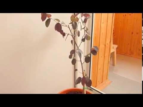 Выращивание лоропеталума в домашних условиях