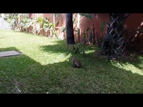 The Gambia - Seafront Residence Hotel - Monkey Visit 2