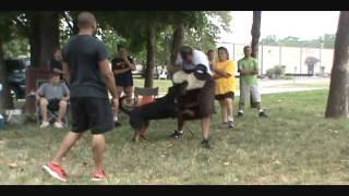 Kingston - 28 Months (schutzhund Obedience & Protection Training) 2