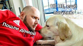Собака Не Хочет Идти Домой Смешной Лабрадор Молли Играет