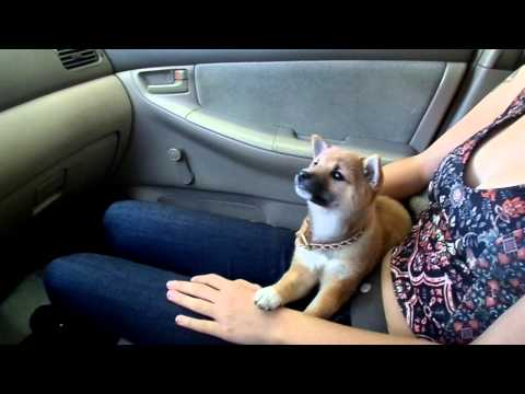 9 Week old Shiba Inu Puppies First Car Wash