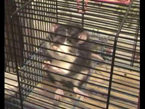 Вопрос: Как общаются между собой крысы?