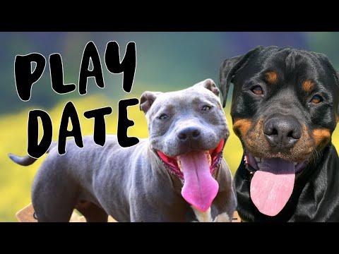 Rottweiler & Pit Bull Vlog