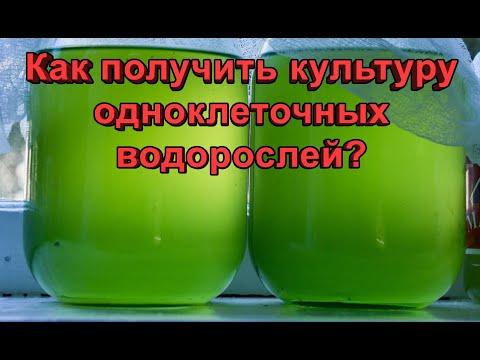 Разведение одноклеточных водорослей. Как получить культуру?