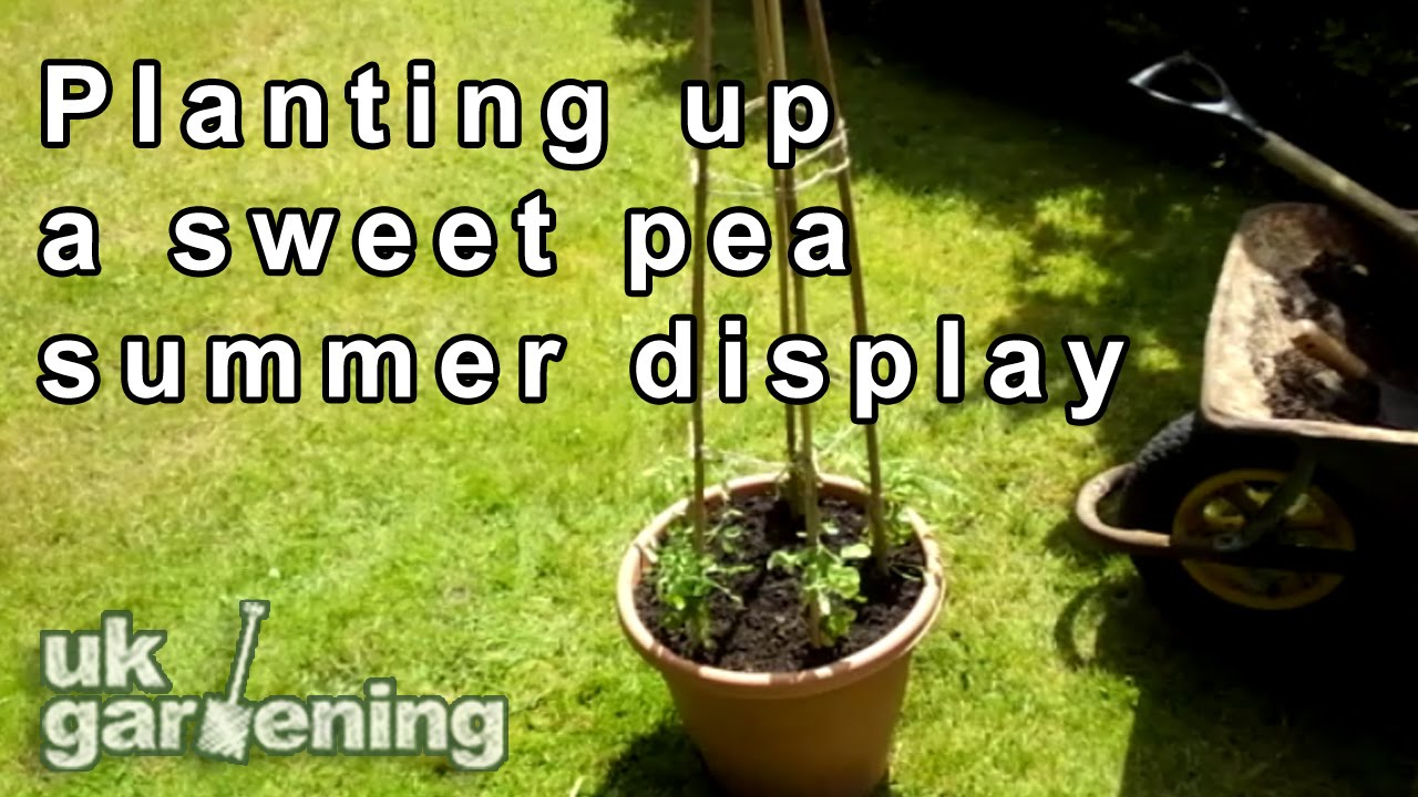 Planting Up A Sweet Pea Container Youtube