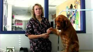 Dog Grooming : How To Groom A Golden Retriever