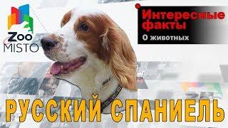 Русский Охотничий Спаниель - Интересные факты о породе