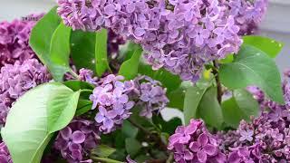 "Peaceful Relaxing Music, Soft Instrumental Music, Meditation Nature Music ""Ocean Lilacs"" Tim Janis"