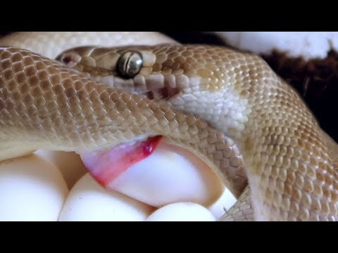 I CAUGHT MY SNAKE LAYING EGGS | BRIAN BARCZYK