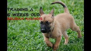 Training a 6 week old Belgian Malinois puppy | Basic Commands (SIT, STAND, DOWN)